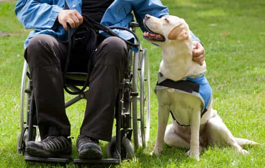 guide dog and man in wheelchair